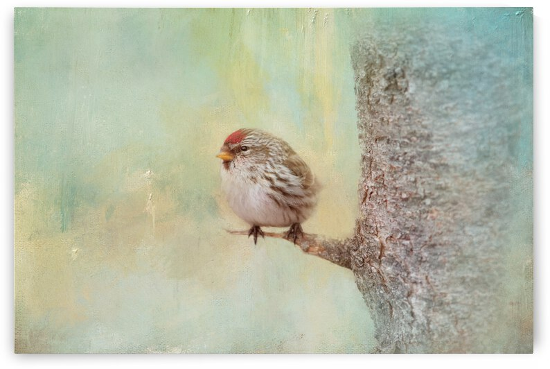 Common Redpoll by Michel Soucy