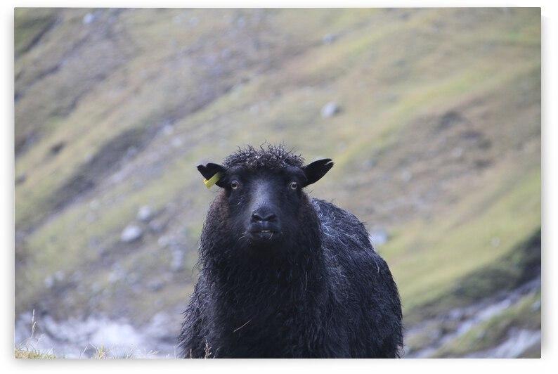 sheep by A C Heichelmann