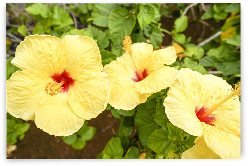 Hibiscus Trio   Tropical Flowers Hawaii by 1North