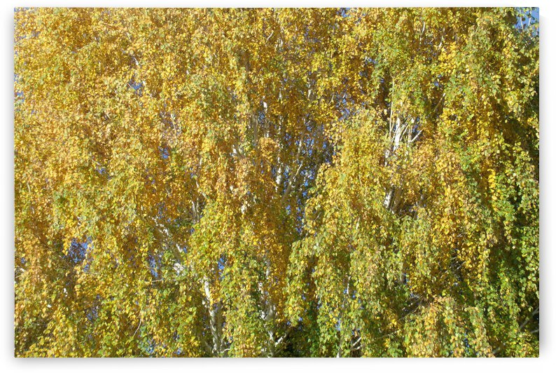 Autumn Leaves In Tulelake 1 by Sherrie Larch