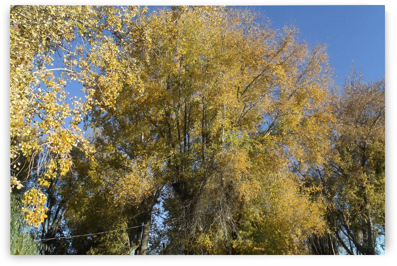 Falls Trees In October 3 by Sherrie Larch