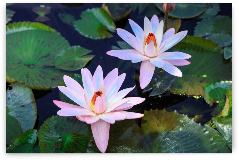 Water Lilies by WOW Factor Photography