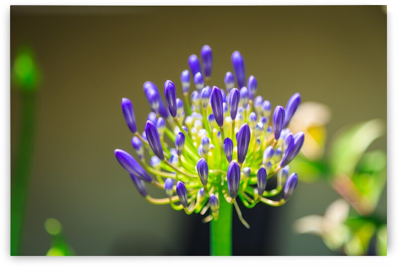 Agapanthus by WOW Factor Photography
