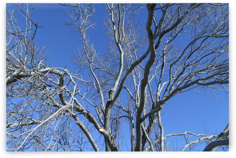 Winter Trees And Blue Sky 4 by Sherrie Larch