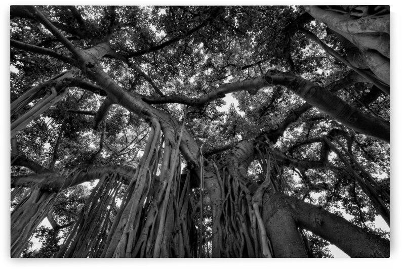 The Big Tree by BCALI