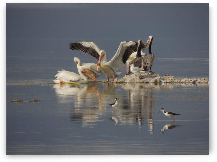 Pelican Reflections by J  Jasmyn Phillips