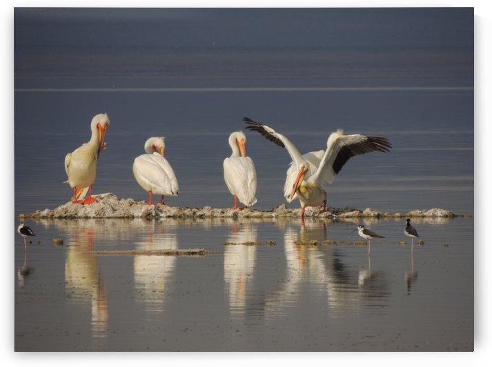 Pelican Reflections 2 by J  Jasmyn Phillips