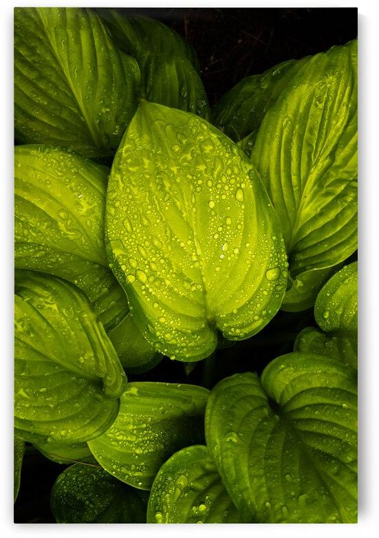 Rain Drops and Hosta Leaves by Bob Orsillo
