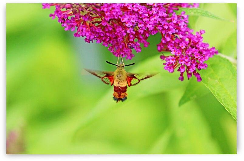 Nectaring Moth by Deb Oppermann