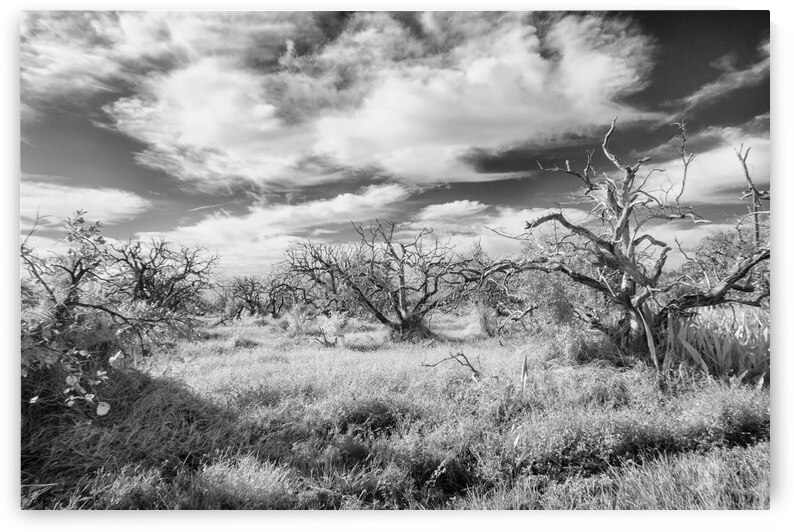 Infrared orange grove by Bob Barbour