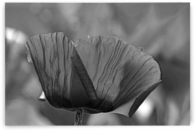 Poppy Black And White by Deb Oppermann