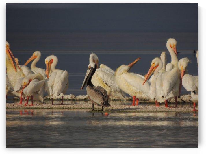 Pelicans at the Salton Sea by J  Jasmyn Phillips