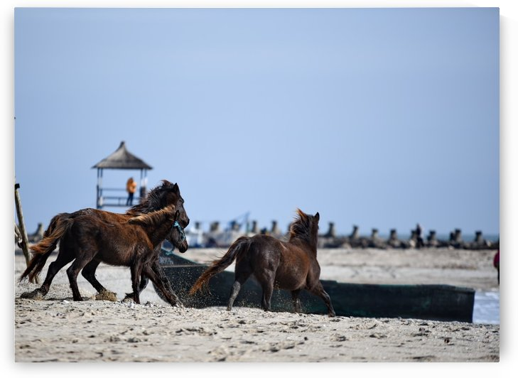 Wild horses on the beach by Bajan Sorin