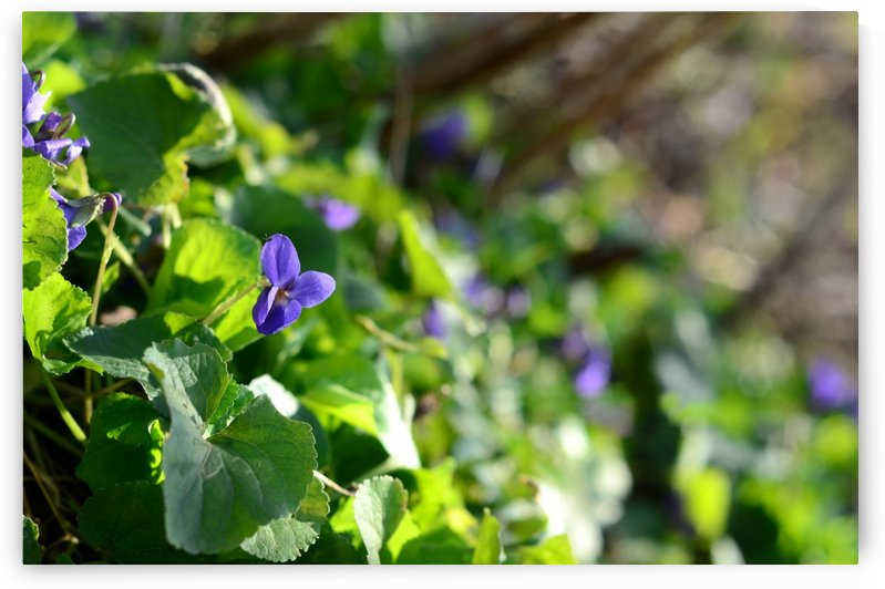 Spring sweet violets in the garden by Codrina Miculit