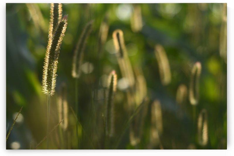 Glowing field grass by Codrina Miculit