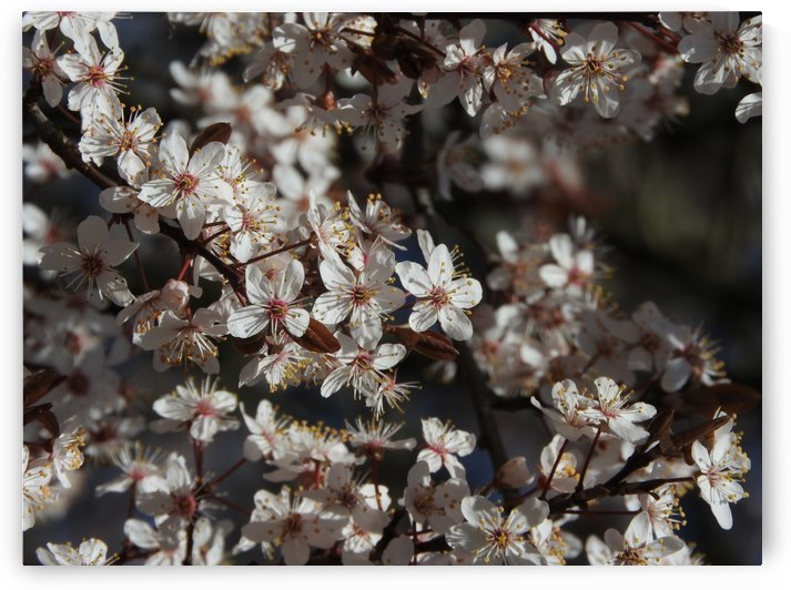 Lovely Blossoms by J  Jasmyn Phillips