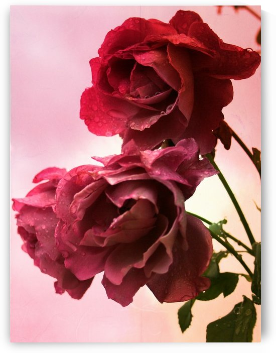 Rose Collection - 05 by Digitalu Photography