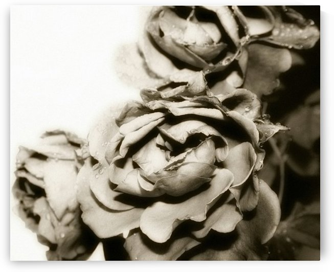 Rose Collection - 06 by Digitalu Photography