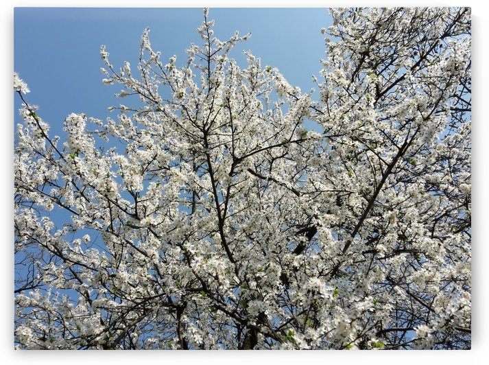 Sky through Blossomed Tree Branches by Daniel G