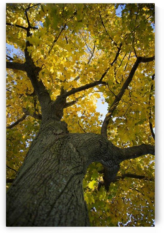 Fall Tree by katie tremblay