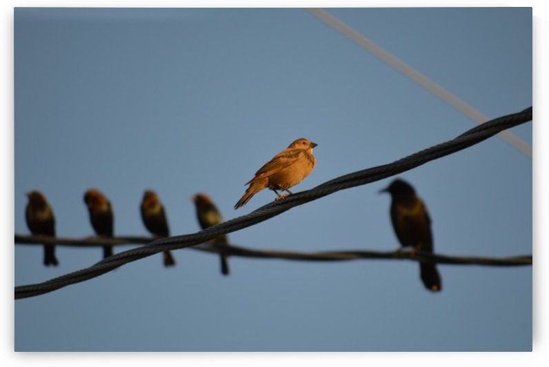 Birds on the Wires by Digitalu Photography