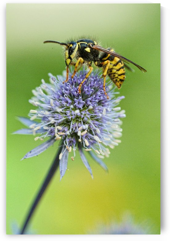 Country Wasp by Richard Lindzon