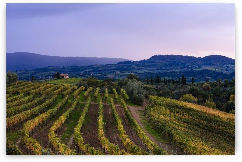 Wine grape vineyard, near Ulignano; Tuscany, Italy by PacificStock
