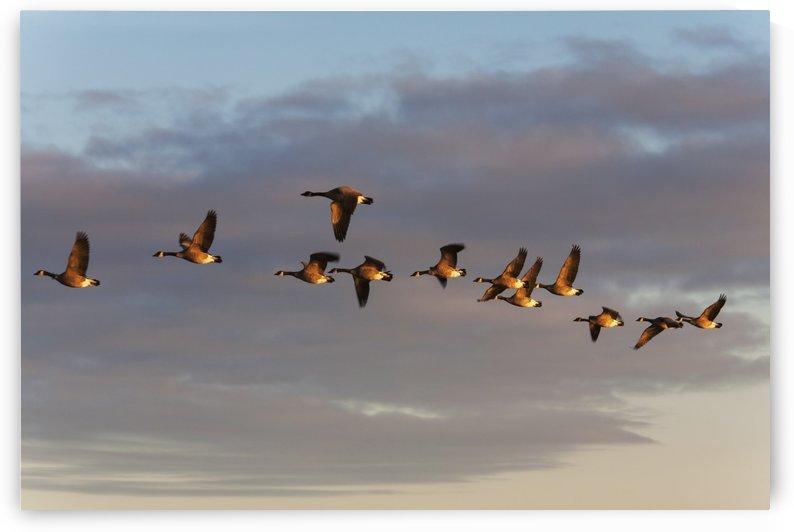 Canada geese in flight; Manitoba, Canada by PacificStock