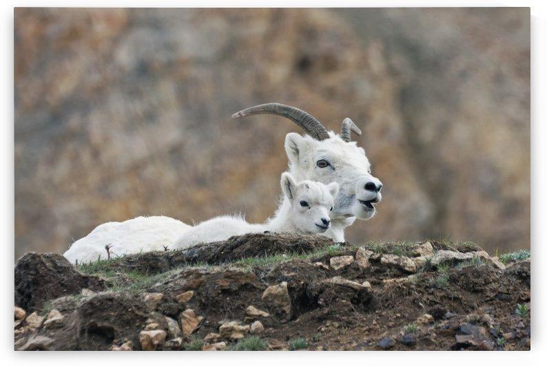 Dall Sheep lamb and its mother (Ovis dalli dalli) in Denali National Park, Interior Alaska by PacificStock