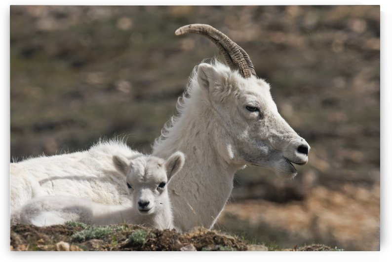 Dall Sheep lamb and its mother (Ovis dalli dalli) in Denali National Park, Interior Alaska by PacificStock