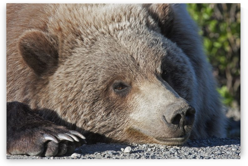 Close up of a Grizzly (Ursus arctos) resting with his head on the Park road, Denali National Park, early summer, Interior Alaska by PacificStock