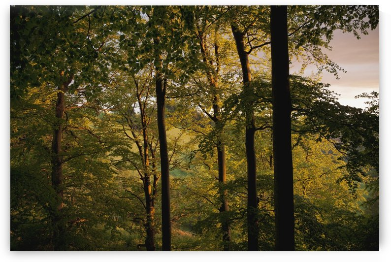 Beech trees near St. Ulrich; Black Forest, Germany by PacificStock