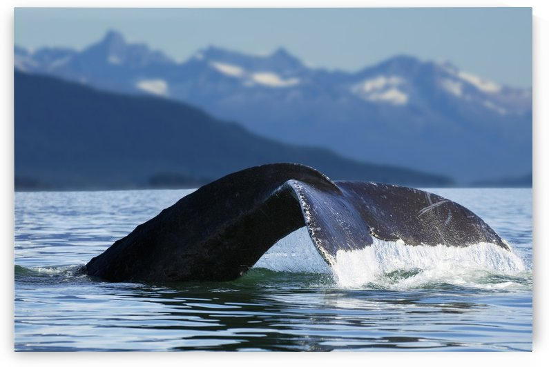A Humpback whale lifts its flukes as it returns to the depths to feed in the bountiful waters of Alaska's Inside Passage, Tracy Arm in the distance, Stephens Passage, near Juneau. by PacificStock