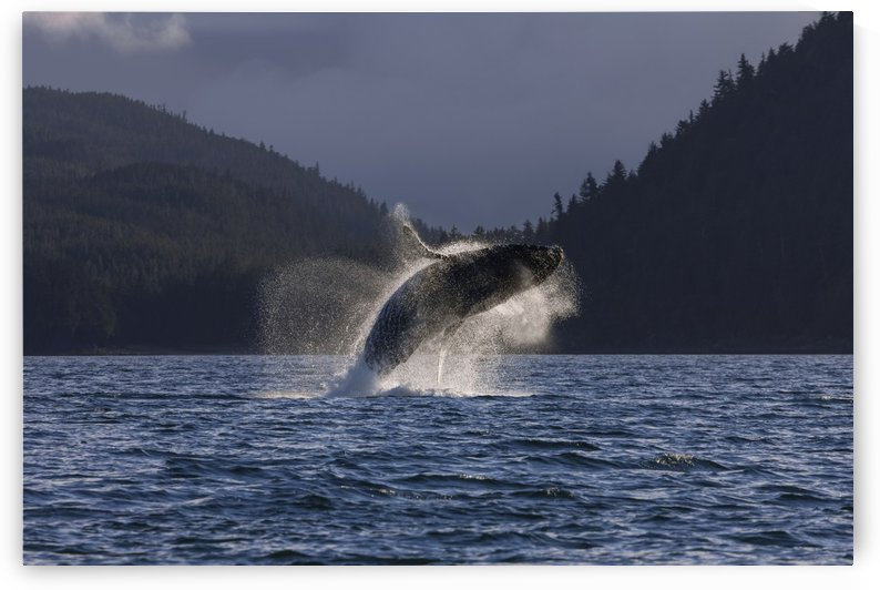 A Humpback Whale leaps from the waters of the Inside Passage near Juneau, Alaska. Favorite Passage, Shelter Island. by PacificStock