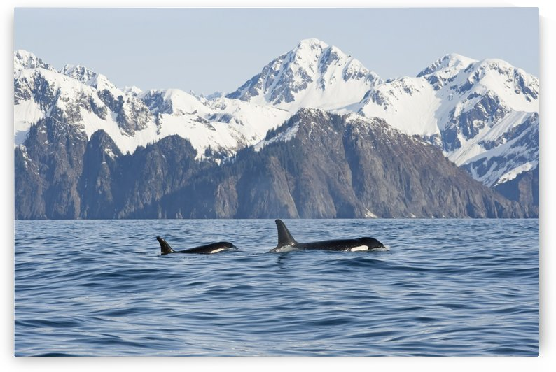 killer whale, or orcas, Orcinus orca, cow and calf swimming in Resurrection Bay, Kenai Fjords National Park, outside Seward, southcentral Alaska, spring by PacificStock