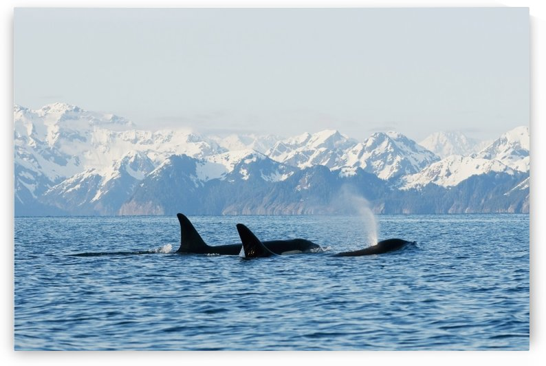 killer whale, or orcas, Orcinus orca, pod in traveling in Resurrection Bay, Kenai Fjords National Park, outside Seward, southcentral Alaska, spring by PacificStock