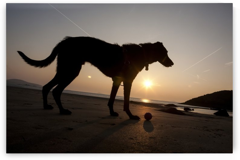 A dog with his ball at sunset at Whitesands Beach, Pembrokeshire Coast Path, South West Wales; Pembrokeshire, Wales by PacificStock
