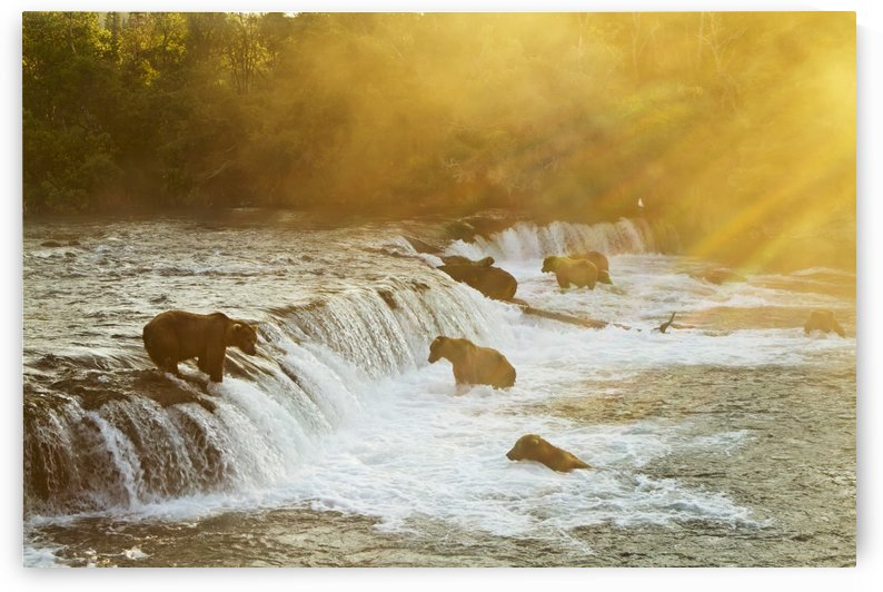 Brown bears (Ursus arctos) gathered at Brooks Falls to fish for salmon, Brooks River, Katmai National Park, Southwest Alaska by PacificStock