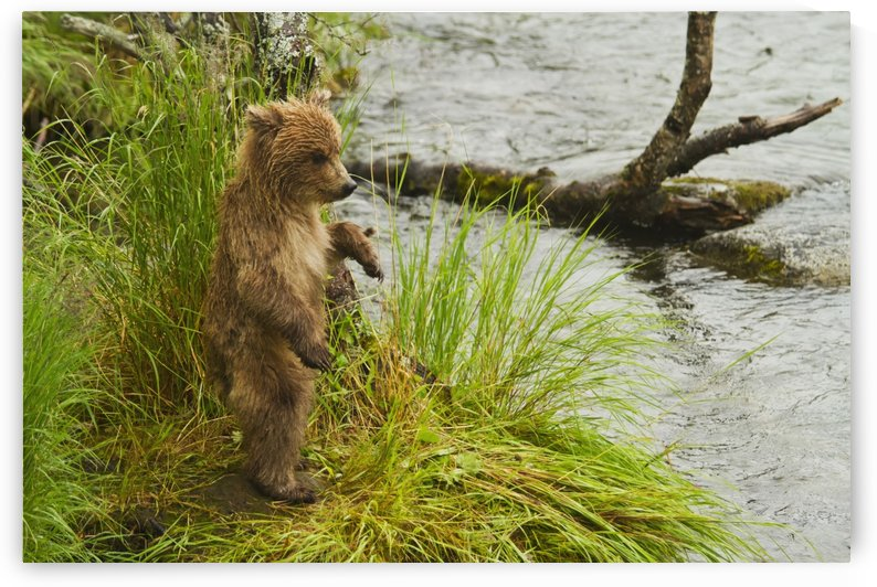 Brown bear (Ursus arctos) cub standing in grass at edge of Brooks River in rain, while mother is fishing for salmon, Katmai National Park, Southwestern Alaska by PacificStock