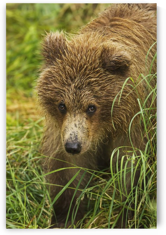 Brown bear (Ursus arctos) cub close-up, standing in grass, Katmai National Park and Preserve, Southwest Alaska, USA by PacificStock