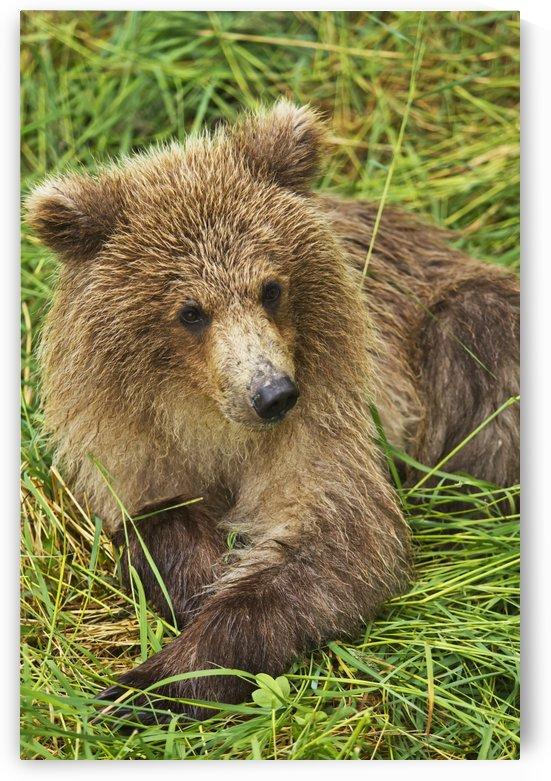Brown bear (Ursus arctos) cub close-up, lying in grass, Katmai National Park and Preserve, Southwest Alaska, USA by PacificStock