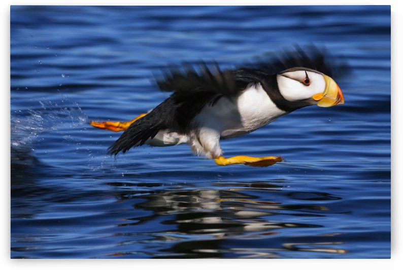 Horned puffin (Fratercula corniculata) taking off, Kodiak, Alaska, summer by PacificStock