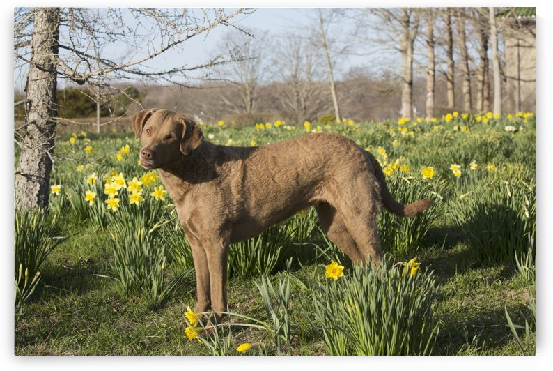 Female Chesapeake Bay retriever in daffodils; Waterford, Connecticut, USA by PacificStock
