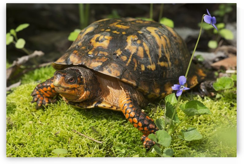 Eastern box turtle on sphagnum moss among blue violets; Connecticut, USA by PacificStock