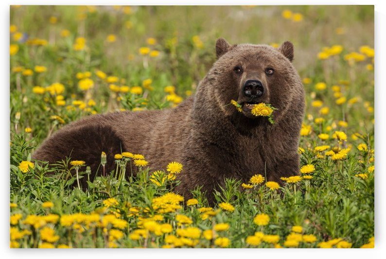 A Brown bear forages on dandelions, Tatshenshini-Alsek Park, accessible from the Haines to Haines Junction section of the Alaska Highway, Summer, Yukon, Canada. by PacificStock