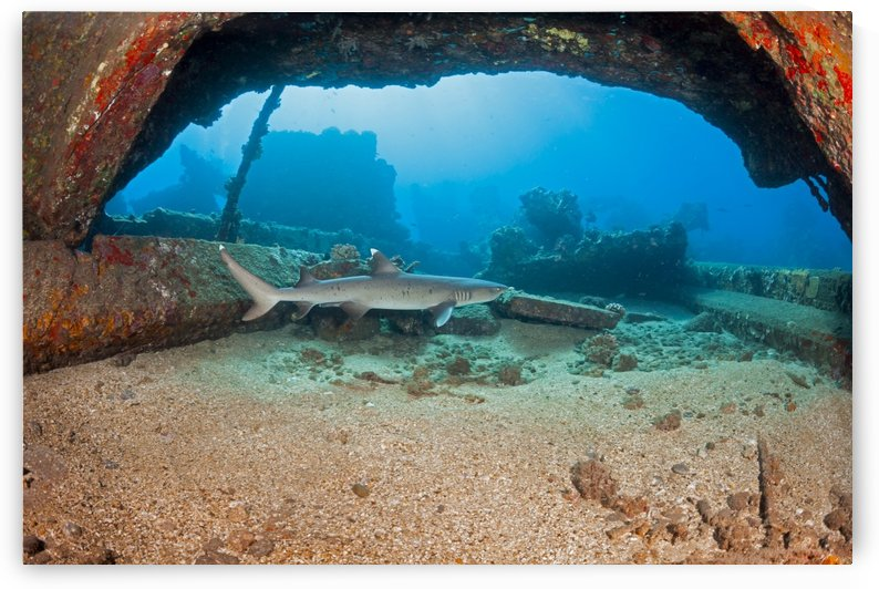 A Whitetip reef shark (Triaenodon obesus) swims by some of the remains of Mala Wharf which was destroyed by a storm; Maui, Hawaii, United States of America by PacificStock