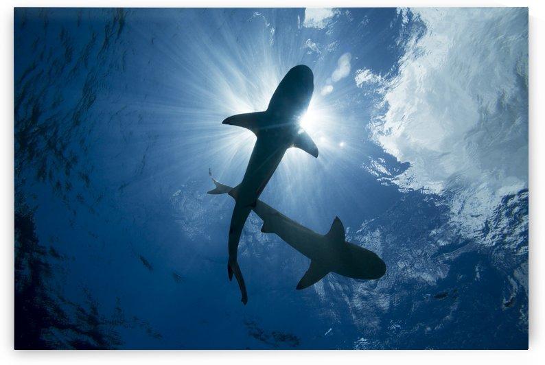 Blacktip reef sharks (Carcharhinus melanopterus); Yap, Micronesia by PacificStock