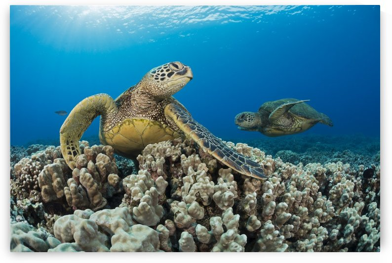 Green sea turtles (Chelonia mydas), an endangered species; Maui, Hawaii, United States of America by PacificStock