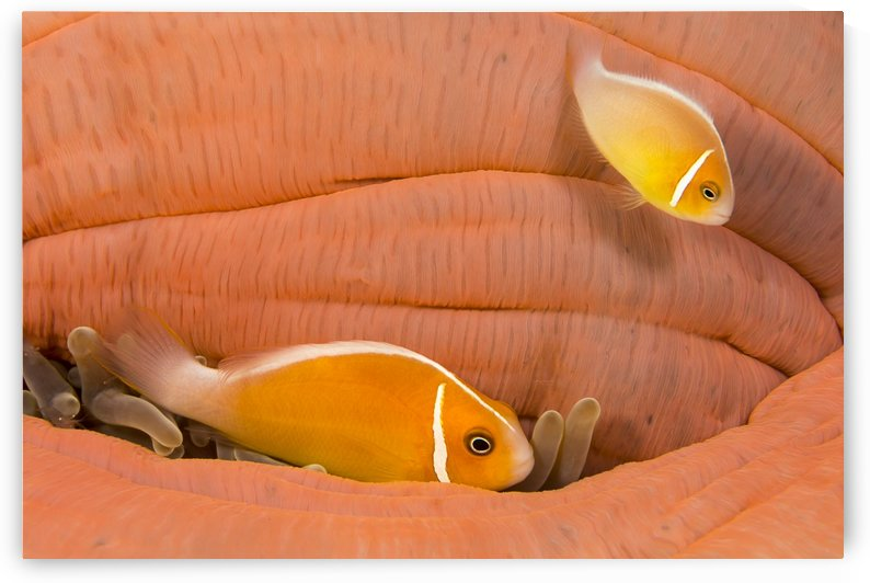 This common anemonefish (Amphiprion perideraion), most often found associated with the anemone (Heteractis magnifica), as pictured here, this particular anemone has closed and it's guests are tucking in where ever possible; Yap, Micronesia by PacificStock