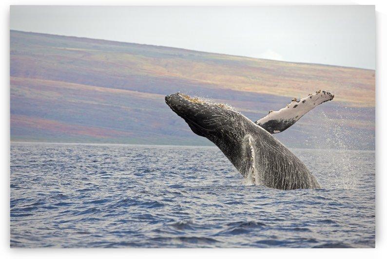 Breaching humpback whale (Megaptera novaeangliae); Maui, Hawaii, United States of America by PacificStock